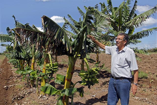 El agrónomo Sergio Rodríguez muestra ejemplares de plátano de bajo porte, que resisten mejor los vientos huracanados. Crédito: Jorge Luis Baños/IPS.