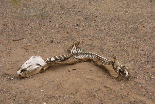 Restos de un julan cazado de modo ilegal. Crédito: Cortesía de Goviin Khulan.