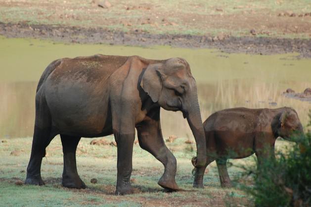 Elefantes en las islas de Andaman y Nicobar. Crédito: Malini Shankar/IPS