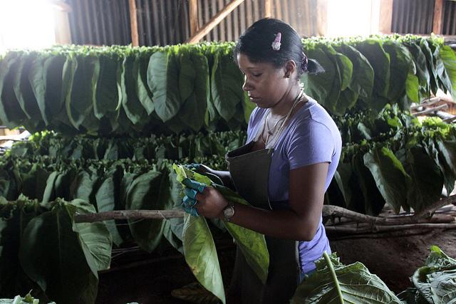La joven Yamilé Venero ensarta hojas de tabaco sobre largos cujes (palos), para su secado natural, en la finca Valle, en el municipio de San Juan y Martínez, meca de este producto emblemático de Cuba. Crédito: Jorge Luis Baños/IPS