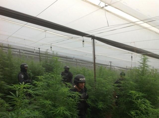 Efectivos policiales durante la incautación del invernadero con cultivos de marihuana y amapola en La Cumbre, en el municipio hondureño de La Iguala. Crédito: cortesía de la Policía Nacional