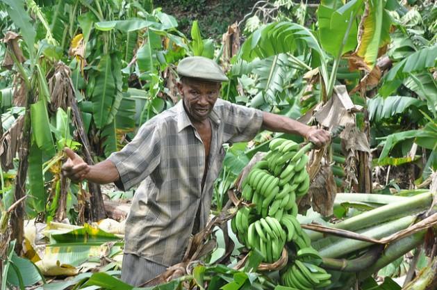 Un agricultor muestra el daño causado por una tormenta en sus cultivos de banano. Crédito: Desmond Brown/IPS