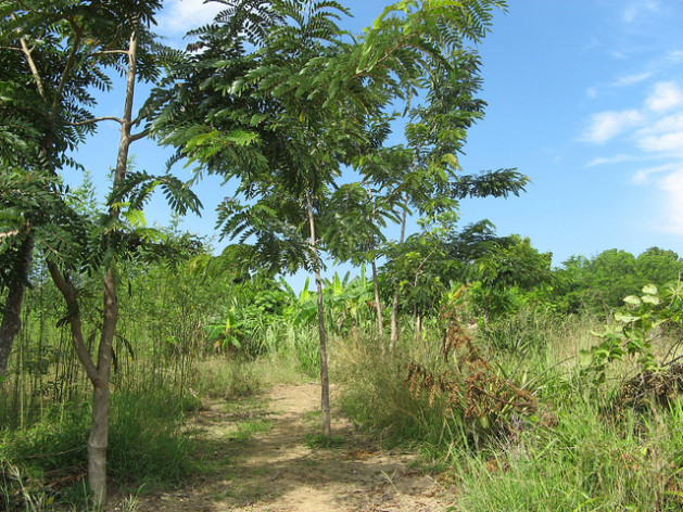 Árboles de Cassia siamia (que se usan para obtener carbón) plantados en Haití. Crédito: Desmond Brown/IPS.