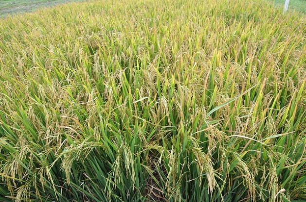 La industria arrocera es el segundo sector agrícola más importante en Guyana, apenas después del azúcar en cuanto a ganancias de divisas. Un grupo de expertos indios ayuda al país a reducir sus costos energéticos en ambos casos. Crédito: Desmond Brown/IPS.