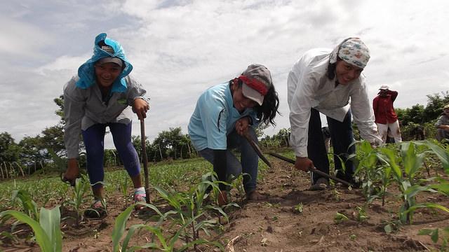 Cruz Esmeralda Mejía, Maybelyne Palacios y Rosa María Rivera cuidan plantitas de semillas mejoradas de maíz en la cooperativa La Maroma, en la zona conocida como el Bajo Lempa, en El Salvador. Crédito: Edgardo Ayala/IPS