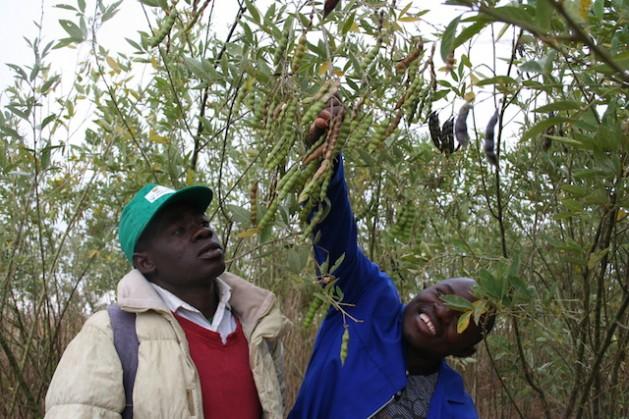 Eherculano Thomas Rice (a la izquierda) de Chimoio, Mozambique muestra el guandú que utiliza para mejorar la fertilidad de la tierra en su campo. Crédito: Busani Bafana/IPS