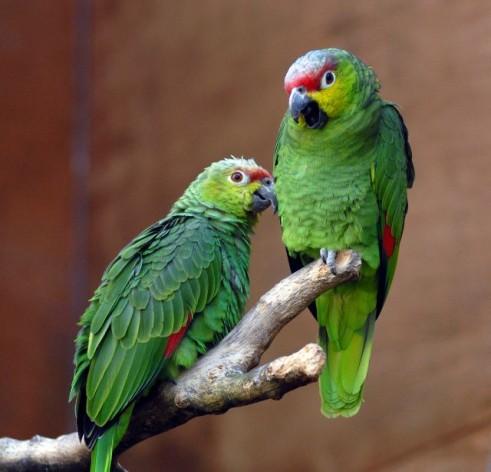La especie más conocida de Santa Lucía es la amazona versicolor, en peligro de extinción. Crédito: Steve Wilson/cc by 2.0