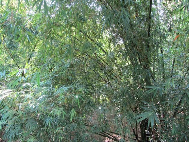 La planta de bambú cumple una función muy importante de protección ambiental y mitigación del cambio climático. Crédito: Desmond Brown/IPS
