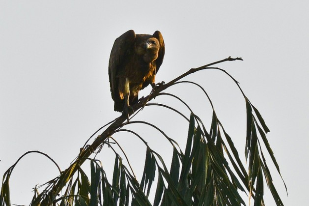 En las últimas dos décadas desaparecieron 99 por ciento de los buitres en India. Crédito: gkrishna63/CC-BY-ND-2.0
