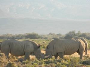 Los rinocerontes blancos de Sudáfrica ya no corren peligro de extinción tras intensos esfuerzos de conservación. Crédito: Kanya D'Almeida/IPS