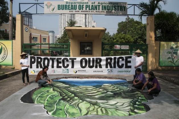 Productores filipinos de arroz denuncian que el patrimonio nacional como las Terrazas de Arroz de Ifugao, de 2.000 años, están en peligro por la inminente presencia de transgénicos. Crédito: Cortesía Diana Mendoza.
