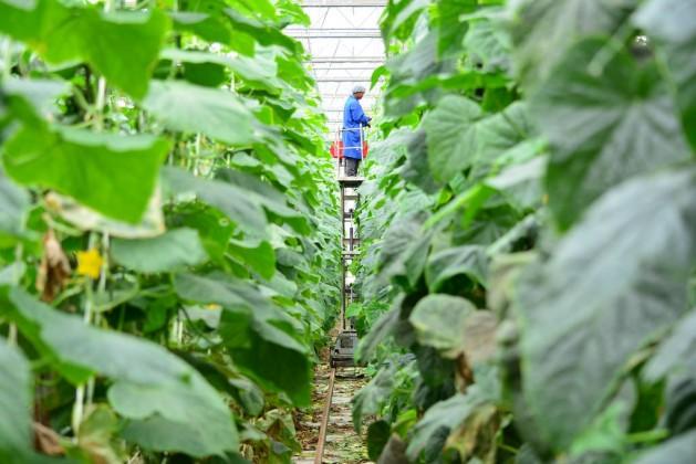 Dube AgriZone cuenta con 16 hectáreas de invernaderos, la mayor extensión cultivada bajo un techo de vidrio y con un clima controlado de África. Crédito: FAO.
