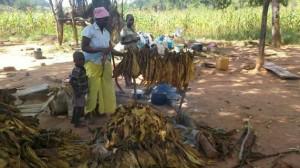 Una mujer y sus hijos recogen hojas de tabaco mientras se preparan para abandonar su tierra en el norte de Zimbabwe, tras recibir una orden de desalojo. Crédito: Jeffrey Moyo / IPS
