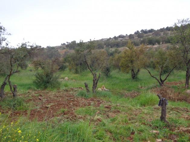 """Colonos israelíes abaten olivos palestinos en un acto de terrorismo ambiental """"destinado a intimidar a sus vecinos palestinos y poner en aprietos económicos a muchos agricultores que dependen de la venta de aceitunas para vivir"""". Crédito: Mel Frykberg/IPS."""