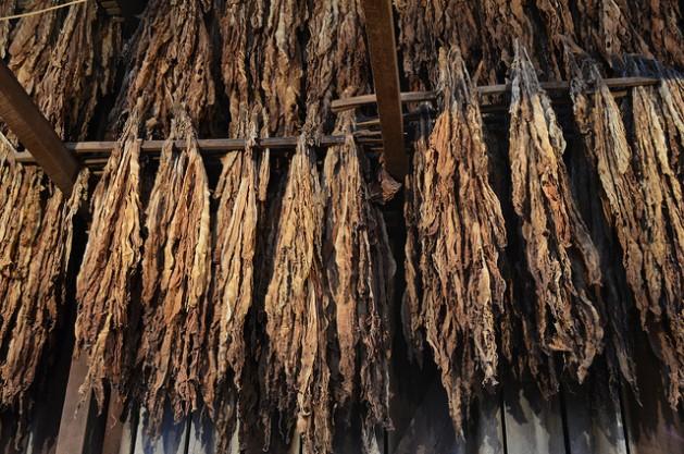 Los niños y niñas que trabajan en las plantaciones de tabaco son vulnerables al envenenamiento por nicotina, especialmente cuando manipulan las hojas de tabaco húmedas. Crédito: MgAdDept / CC-BY-SA