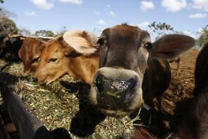 Unas vacas se alimentan en un pesebre al aire libre en una finca de Camagüey, en Cuba. El incremento de la ganadería lechera es una necesidad para el país, que requiere impulsar la producción de leche y de sus derivados por razones económicas y alimentarias. Crédito: Jorge Luis Baños/IPS