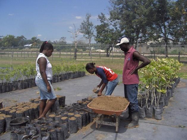 Trabajadores de la Estación Agrícola de Bodles, en el sur de Jamaica, preparan semillas de árboles frutales para su distribución. Crédito: Zadie Neufville/IPS