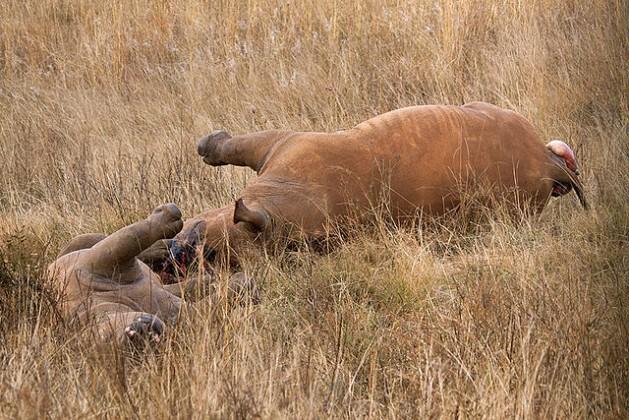 """Cazadores mataron a una rinoceronte y su cachorro para extraerles sus cuernos. La caza furtiva de elefantes y rinocerontes es """"cada vez más militarizada"""". Crédito: Hein waschefort/cc by 3.0"""