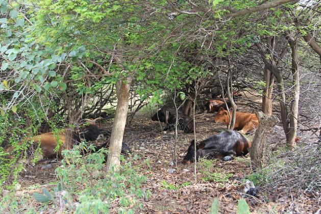 Los animales se refugian del calor agobiante entre los arbustos en Union Island, en San Vicente y las Granadinas. Crédito: Kenton X. Chance/IPS