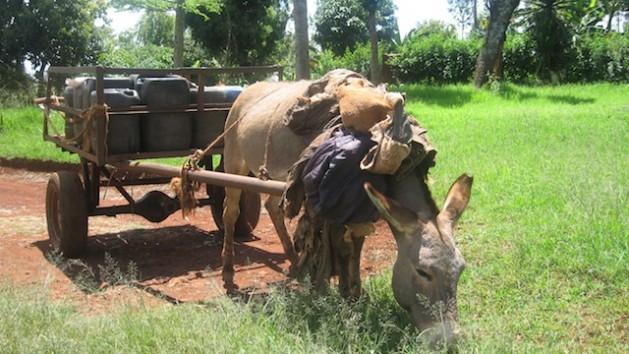 La comunidad mijikenda en el sur de Kenia no solo cuida los bosques sagrados, también practica la agricultura y la ganadería. Crédito: Miriam Gathigah/IPS