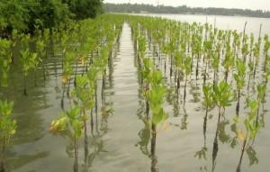Pequeños árboles de manglar cuidados por las beneficiarias de la Federación de Pequeñas Pesquerías de Lanka ayudan a la laguna Puttalam a recuperar parte de su gloria natural. El éxito del programa llevó al gobierno a apoyar un proyecto nacional de 3,4 millones de dólares. Crédito: Amantha Perera/IPS