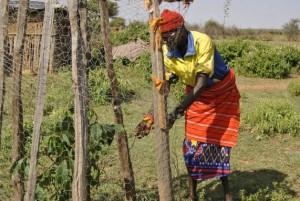 Sipian Lesan, un pastor seminómada de Lekuru, un pueblo de Kenia, con una de sus plantas frutales. Crédito: Robert Kibet/IPS