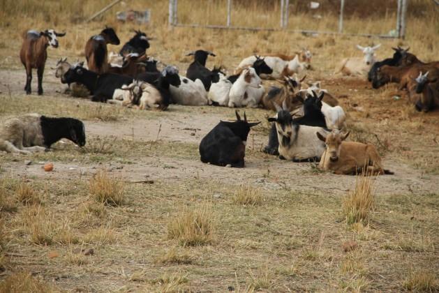 Muchos zimbabuenses se vuelcan a la cría de pequeños animales, como cabras, que soportan condiciones ambientales más secas para evitar las consecuencias del cambio climático, que ya se cobró la vida de varias vacas a lo largo de los años. Crédito: Jeffrey Moyo/IPS.