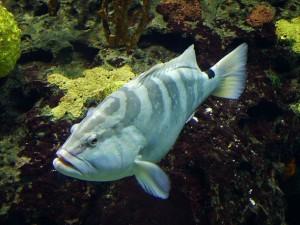El mero está entre las 19 especies que la organización estadounidense Wild Earth Guardians dice que necesita protección. Crédito: Rick Smit/cc by 2.0