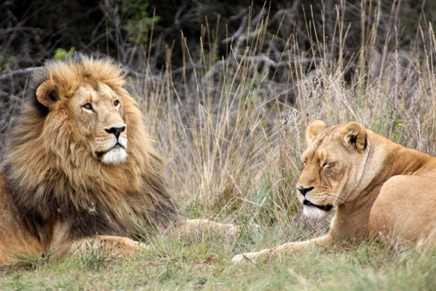 Pareja de leones en la Reserva Krugersdorp Game, en Sudáfrica. Crédito: Derek Keats/cc by 2.0