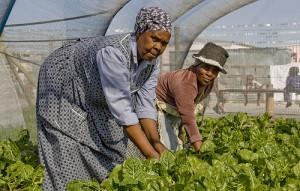 Agricultoras sudafricanas cosechan plantas cultivadas de manera orgánica para vender en Ciudad del Cabo. Crédito: Kristin Palitza/IPS