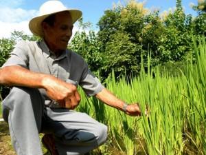 El campesino Vicente Castrellón, de 69 años, muestra su cultivo de arroz biofortificado en el distrito de Olá, en Panamá, una de las iniciativas que hay en América Latina para impulsar al mismo tiempo la pequeña agricultura familiar y combatir el hambre. Crédito: Fabíola Ortiz/IPS