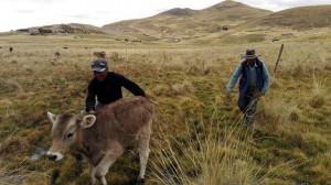 Dos campesinos y uno de sus terneros en la comunidad de Alto Huancané, en las zonas altas de la provincia de Espinar, en el suroriental departamento de Cusco, en los Andes peruanos. De pequeños agricultores familiares como ellos proveen la alimentación de alrededor de 80 por ciento de los habitantes de América Latina y el Caribe. Crédito: Milagros Salazar/IPS