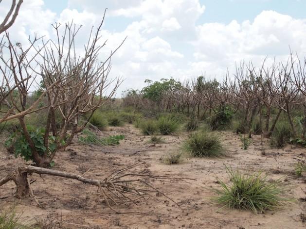 Últimamente, el río Ruaha, en Tanzania, permanece seco hasta tres meses ininterrumpidos. Crédito: Thomas Kruchem/IPS.