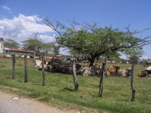 Vacas se protegen del sol bajo un árbol en Jamaica. La sequía ocasionó pérdidas millonarias a los granjeros que no tienen agua. Crédito: Zadie Neufville/IPS.