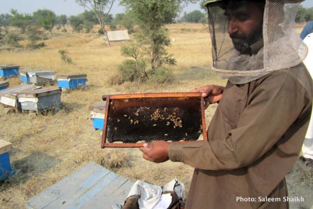 Hakim Jan inspecciona sus colmenas en la aldea de Ghool, en el distrito de Chakwal, unos 90 kilómetros al sudeste de Islamabad, Pakistán. Crédito: Saleem Shaikh/IPS .