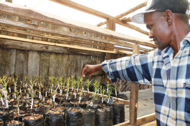 En un semillero, Peter Karanja muestra plantones a los que realizó injertos. Obtuvo un certificado de la Autoridad para el Desarrollo de Cultivos Hortícolas para realizar injertos en plantones y distribuirlos entre los agricultores. Crédito: Robert Kibet/IPS.