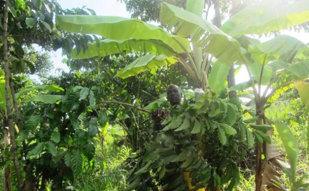 El cultivador de café Joshua Wamukota tiene un terreno en el centro de Uganda y es uno de los muchos en plantar café y banano juntos, una práctica climáticamente inteligente. Crédito: Wambi Michael/IPS