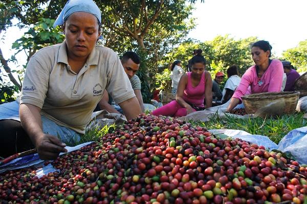 Ilsy Membreño separa los granos de café verdes de los rojos, parte de sus tareas de recolectora en la finca Montebelo en El Salvador. La caída de la producción debido a la roya le redujo el jornal a solo tres dólares diarios. Crédito: Edgardo Ayala/IPS.