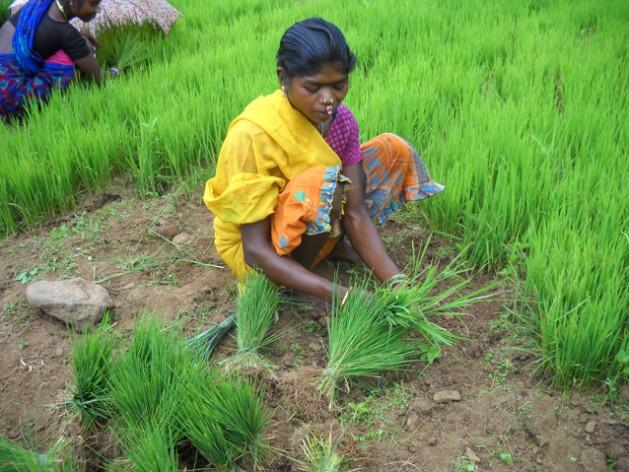 En lo que va de 2015, las consecuencias del cambio climático en India generaron pérdidas agrícolas que superaron los 4.000 millones de dólares. Crédito: Manipadma Jena / IPS
