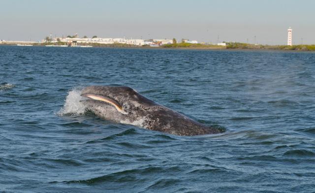 Un cría de ballena nada en las aguas próximas a la costa del estado de Baja California Sur, en el noroccidente d México. La salmuera generada por la obtención de sal amenaza un santuario de las ballenas grises en esa zona del océano Pacífico. Crédito: Cortesía de Costasalvaje AC