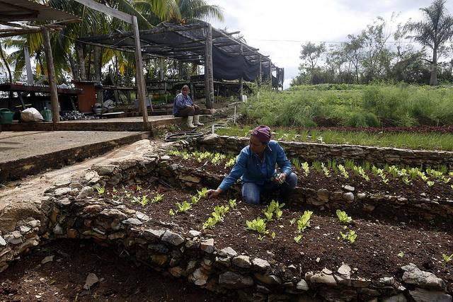 Una trabajadora de la finca Marta, impulsada por uno de los históricos promotores de la agroecología en Cuba, recolecta lechugas producidas de forma orgánica, en el municipio Caimito, provincia occidental de Artemisa. Crédito: Jorge Luis Baños/IPS