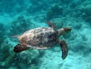 Una tortuga nada en un área marina protegida. Crédito: Ministerio de Relaciones Exteriores y de la Mancomunidad de Naciones, de Gran Bretaña.