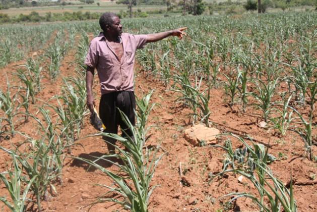 Daniel Chirara, un agricultor de Vumba, Zimbabwe, muestra su cultivo de maíz en un momento en que este país sufre una grave sequía. Crédito: Andrew Mambondiyani/IPS.