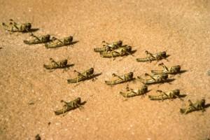 Langostas del desierto jóvenes, sin alas. Foto: FAO / G.Tortoli