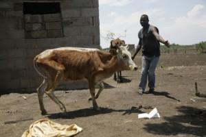 Un hombre no identificado ayuda a levantarse a una vaca afectada por la sequía en Chipinge, un distrito de Zimbabwe. Crédito: Jeffrey Moyo / IPS