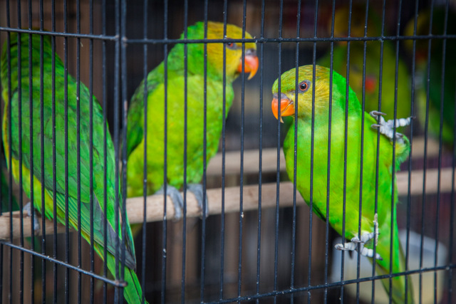 Por su riqueza biológica, América Latina y el Caribe es fuente y destino del tráfico de especies silvestres. En la imagen, unos pericos, pájaros de la familia psitácida, en cautiverio tras ser comerciados ilegalmente. Crédito: Protección Animal Mundial