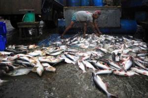Un trabajador de la pesca descarga la captura de la mañana. Crédito: FAO