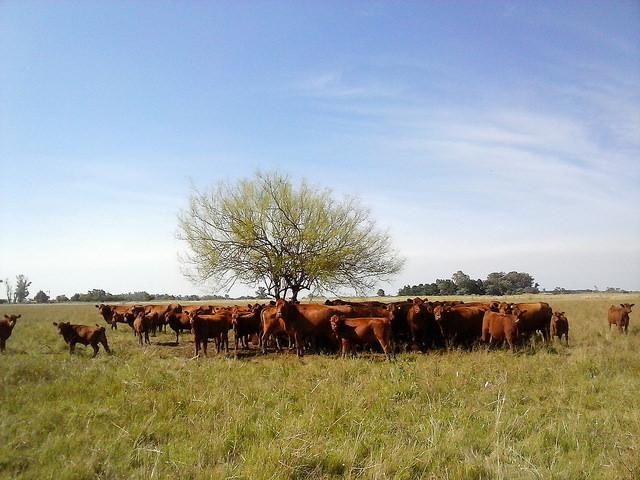 América Latina produce 23 por ciento por ciento de la carne bovina del mundo, que es el puntal del boyante sector ganadero regional, aunque la actividad amenaza su sostenibilidad. En la imagen, un pequeño rebaño busca cobijo en torno al único árbol del pastizal, en la pampa argentina. Crédito: Fabiana Frayssinet/IPS