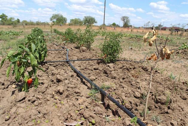 En Sudáfrica, cultivos de morrones y tomates en la huerta de la escuela Risenga, en Giyani, en la provincia de Limpopo, se seca bajo el sol abrasador. Crédito: Desmond Latham/IPS.