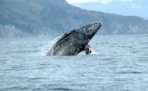 Ejemplar de ballena gris (Eschrichtius robustus). Crédito: Merrill Gosho/NOAA.
